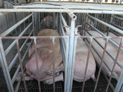 Sow crates (image sourced from Animals Australia)
