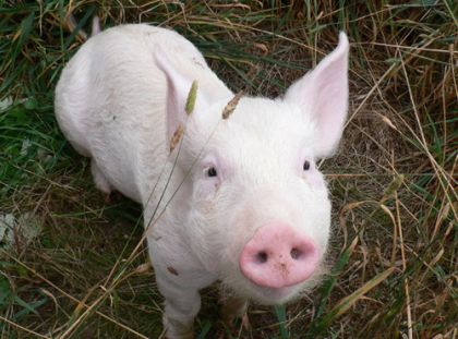 Daisy the piglet (image sourced from Animals Australia)