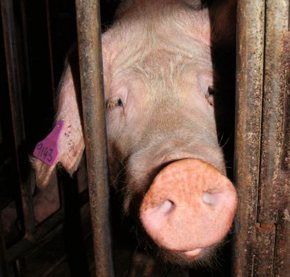 A tortured sow (image sourced from Animals Australia)